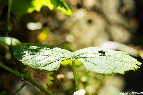 Fly on a vine leaf