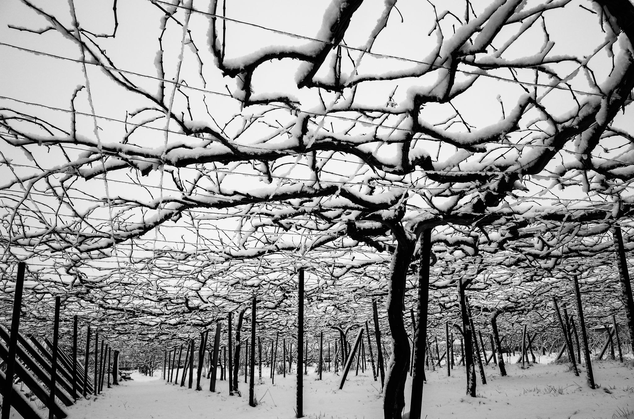 Vineyard covered with snow, Yamanashi, Japan 雪の葡萄園、甲府盆地