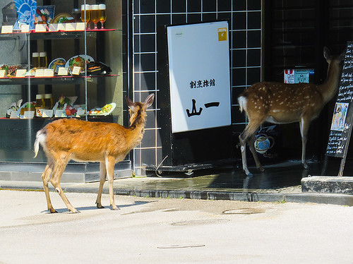 IMG_6509  Deer @ Miyajima Japan