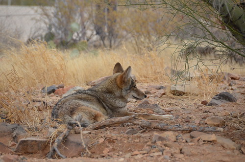 Desert Museum coyote laying