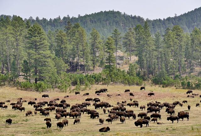 Where the buffalo roam