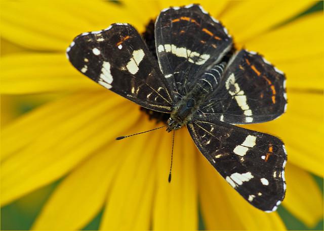 Map butterfly (summer dress)