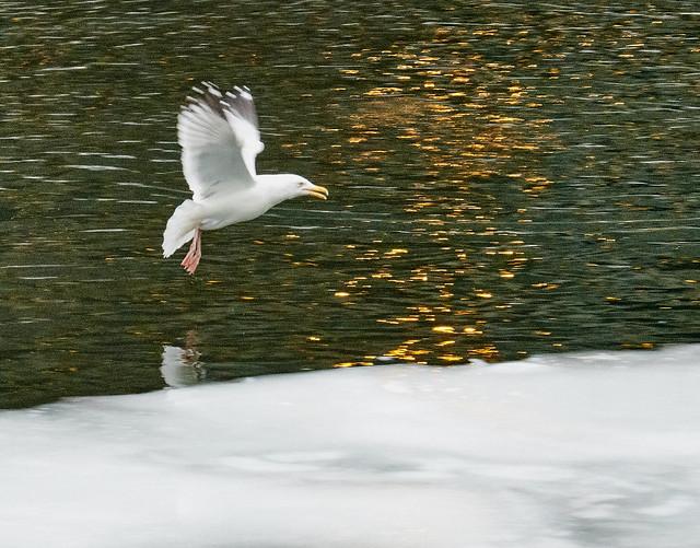 Swooping lakegull.