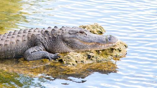 Alligator (2)