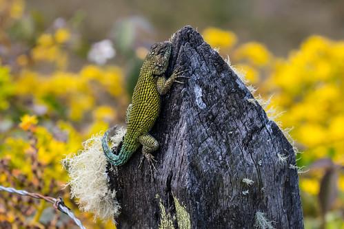 Lizard at La Gordina Restaurant