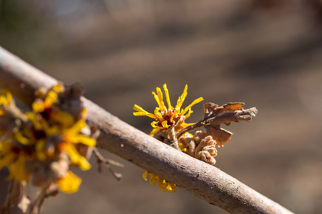 マンサクは咲き始め