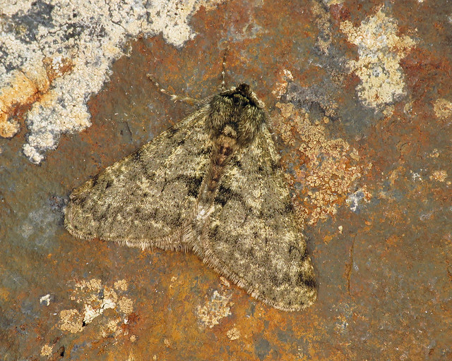 70.247 Pale Brindled Beauty - Phigalia pilosaria