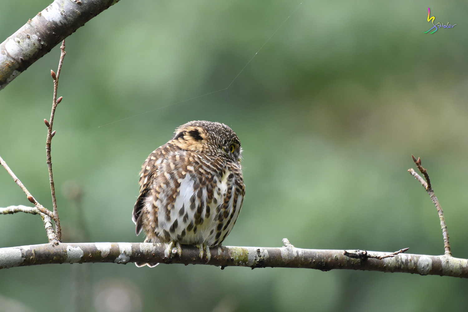 Collared_Owlet_7351