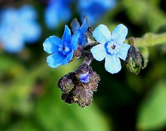 Himalayan Wildflower - Western Himalayas ~3300m Altitude