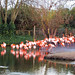 Flamingo's at Chester Zoo