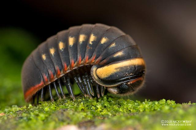 Pill millipede (Zephroniidae) - DSC_7759