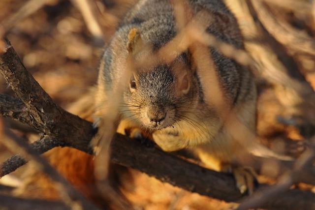 Squirrel, Morton Arboretum. 419 (EOS)