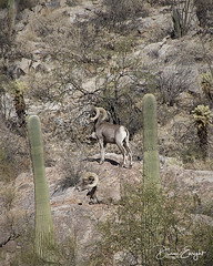 Two Bighorn Sheep 2