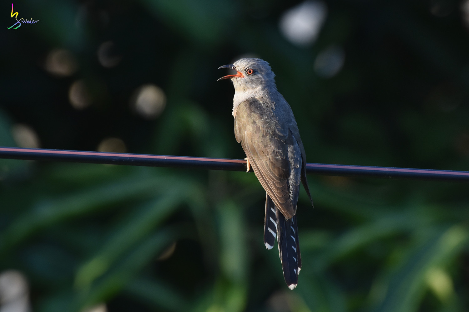 Plaintive_Cuckoo_9130
