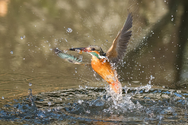 20180203-kingfisher-DSC_6845