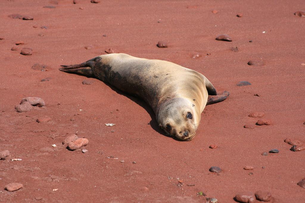 Galápagos-Seelöwe - Zalophus wollebaeki - Galápagos sea lion