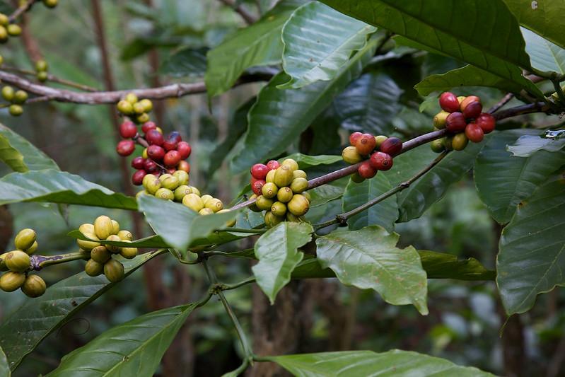 Cà phê Rousta có khả năng chống chịu sâu bệnh và thời tiết tốt hơn nhiều so với Arabica