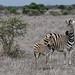 Plains Zebra - Zèbre des plaines by happybirds.ch