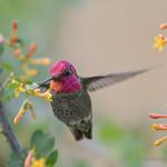Anna's Hummingbird ♂
