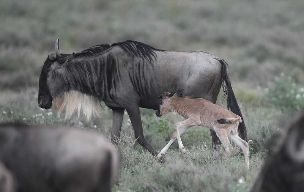 A new born baby of wildebeests running with the mother