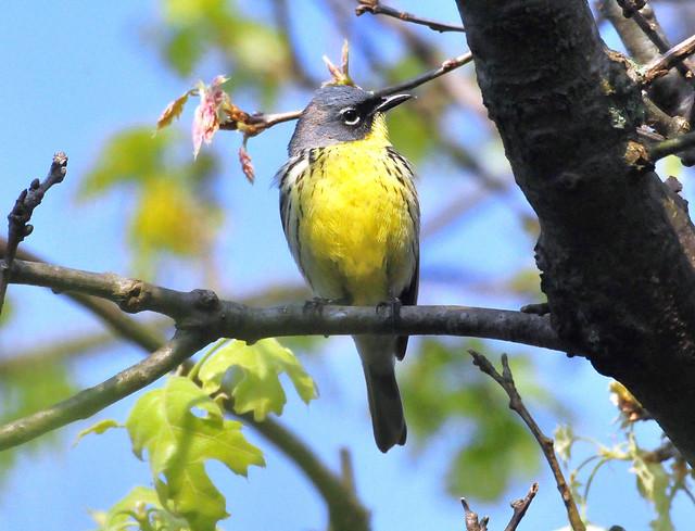 Endangered Species: Kirtland's Warbler