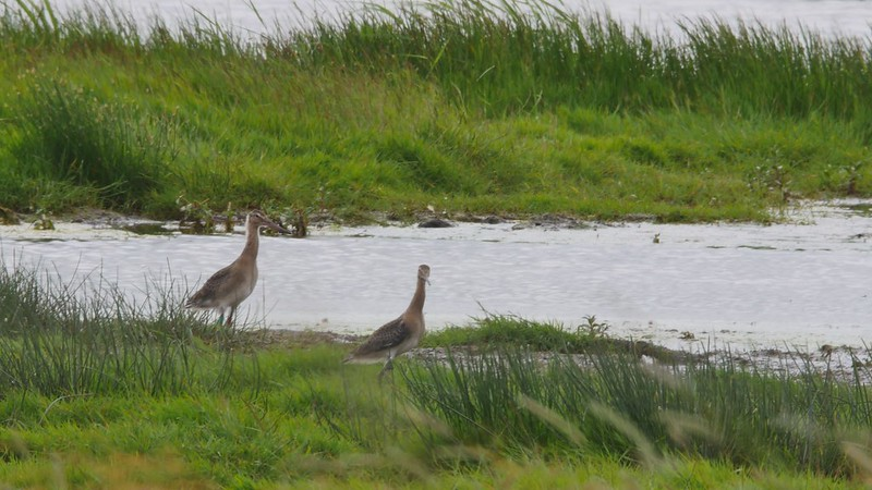 Two juvenile godwits just after release lady fen, WWT 2017