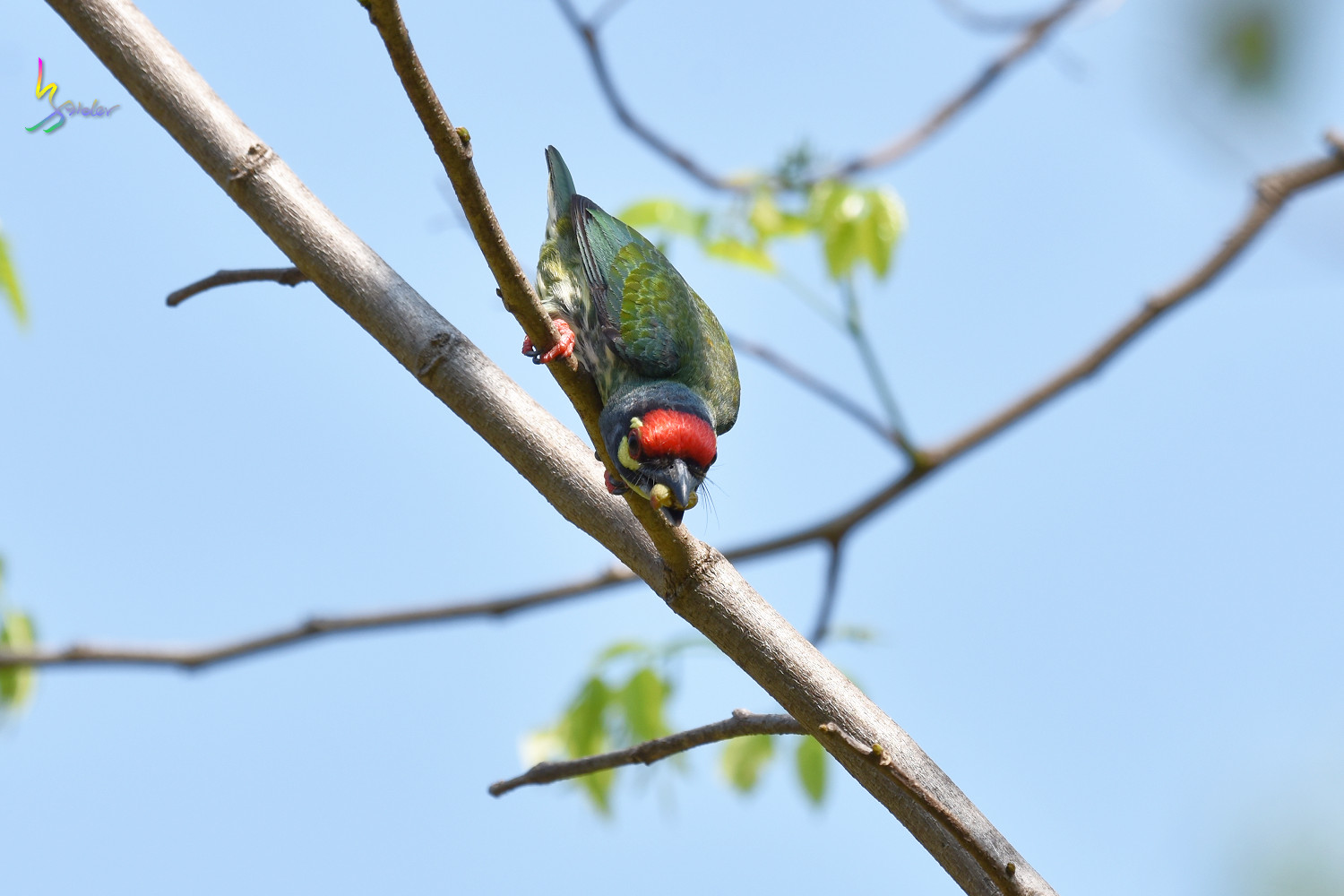 Coppersmith_Barbet_7533
