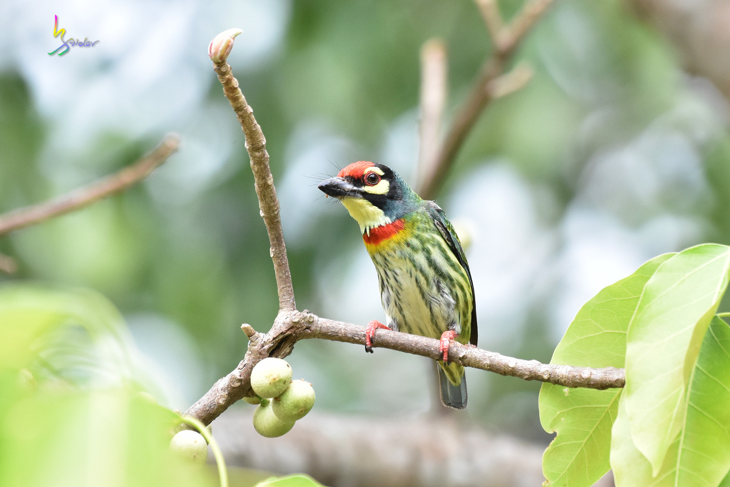 Coppersmith_Barbet_1754