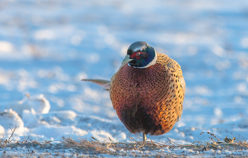 Ring-necked Pheasant (DOL-A-7903)