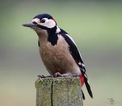 HolderGreat spotted woodpecker