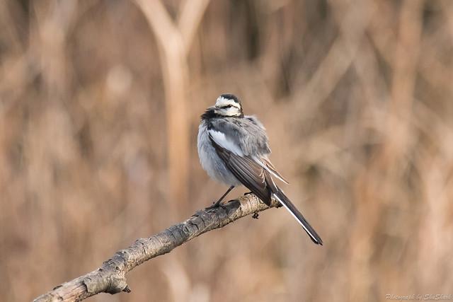 20180120-kingfisher-DSC_4805