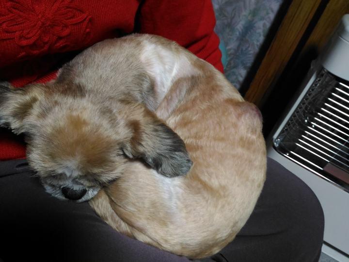 背中に脂肪腫があるシーズー犬まろんのワンモナイト