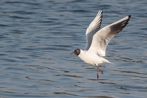 Black-headed Gull  - summer plumage