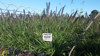 Pennisetum Moudry 3 gal | by Johnson Farms