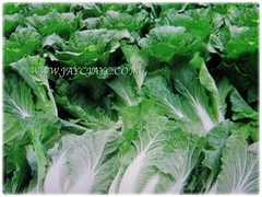 Brassica pekinensis (Chinese Cabbage, Napa Cabbage, Peking Cabbage, Celery Cabbage) is a large and tight-headed edible veggie that looks like a romaine lettuce, 12 Jan 2018