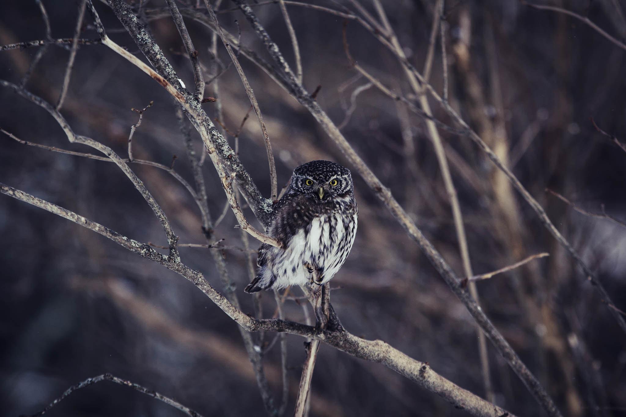 Varpuspöllö / Eurasian pygmy owl