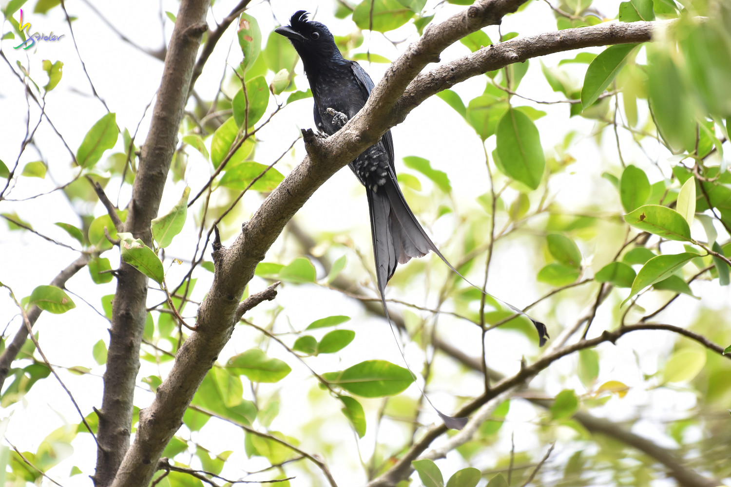 Greater_Racket-tailed_Drongo_1320