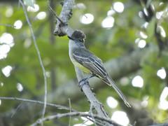 Apical Flycatcher (Myiarchus apicalis)