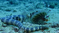 Lion Fish and Banded Sea krait 3