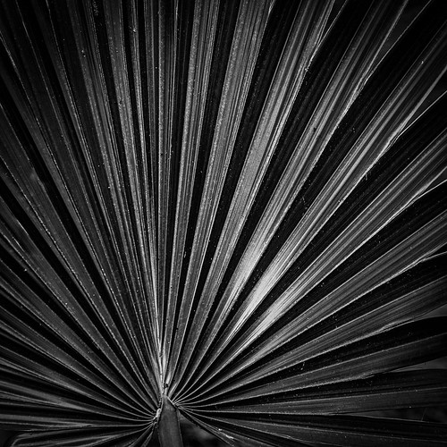 abnc armandbayou armandbayounaturecenter bw blackwhite blackandwhite fan fanpalm monochrome houston texas unitedstates us palm