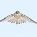 Kestrel In Flight by CR Courson
