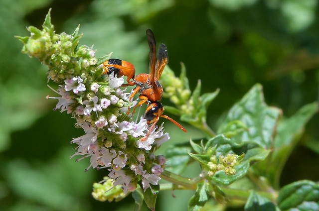 Potters Wasp on English mint.