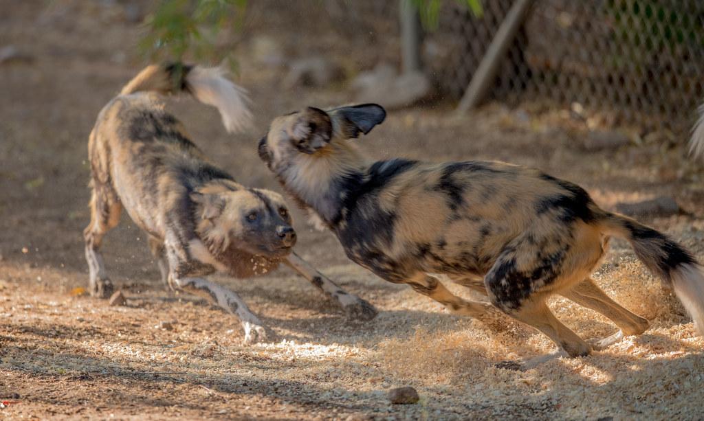 African Wild Dog_5
