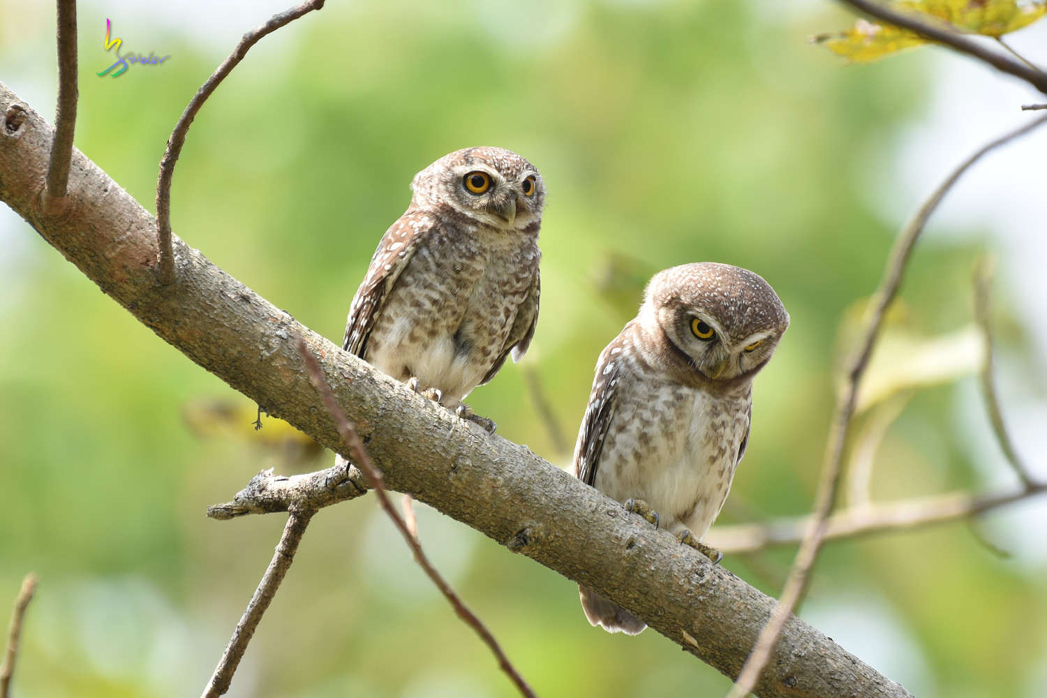 Spotted_Owlet_4513