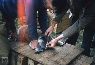 Koala's head & body are measured. Phillip I. May 1958