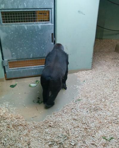 Gorilla (1) #toronto #torontozoo #mammal #gorilla #primate #latergram