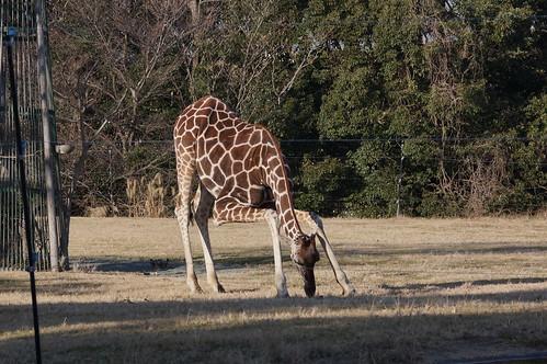 Reticulated giraffe at Toyohashi Zoo 2018-01-06