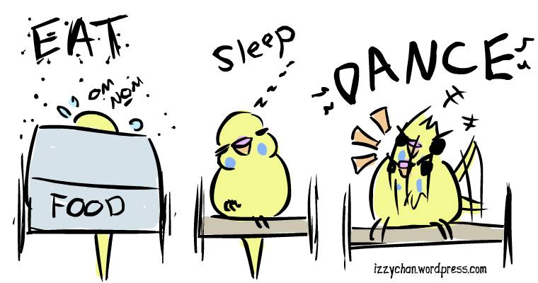 yellow budgie eat sleep dance