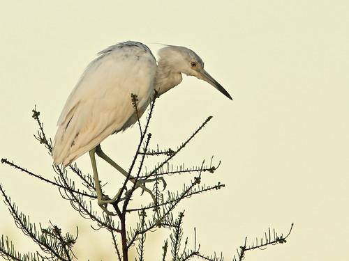 Little Blue Heron roosting 03-20180306