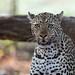 Leopard by Thomas Retterath